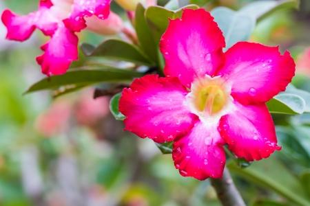 obesum: Adenium Obesum flower