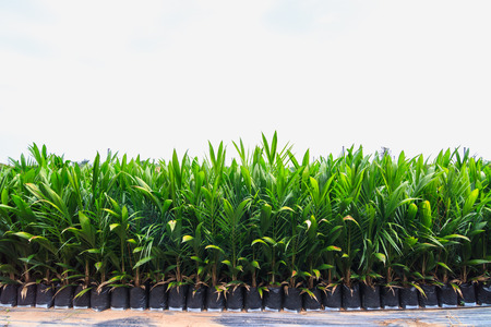 Young oil palm plant in nursery house