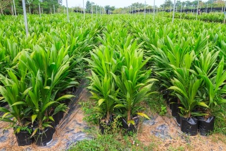 palm tree fruit: Young oil palm plant Stock Photo