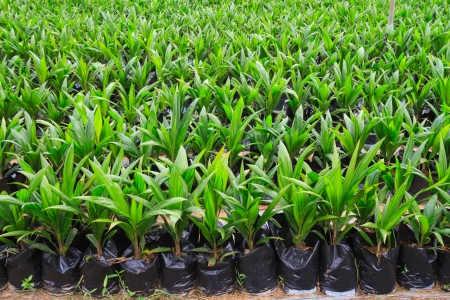 Young oil palm plant photo