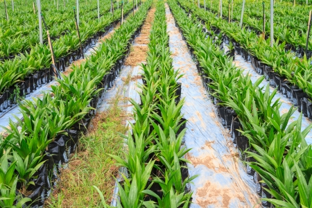 Young palm oil plant in nursery house photo