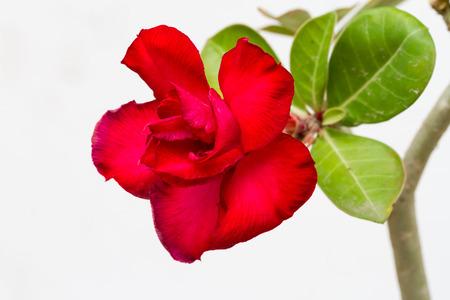 adenium obesum: Desert rose flower, adenium obesum