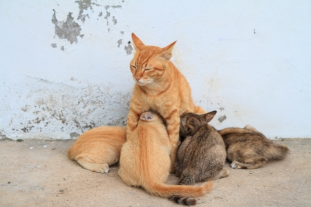 Four kittens brood feeding by mother cat Stock Photo - 24862716