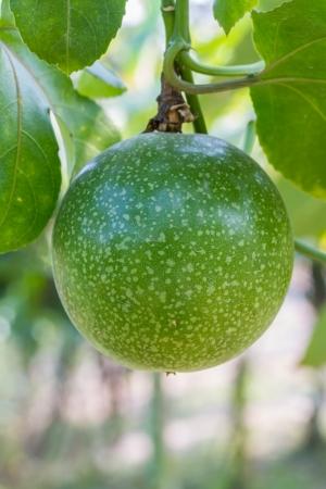 passiflora: Passiflora foetida fruit