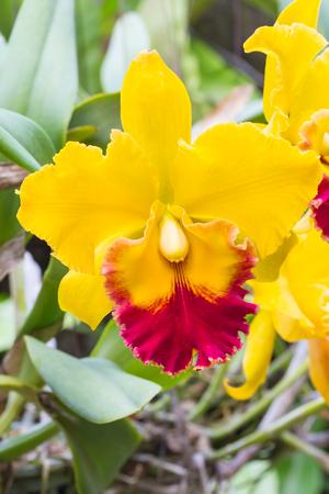 cattleya: Cattleya orchids