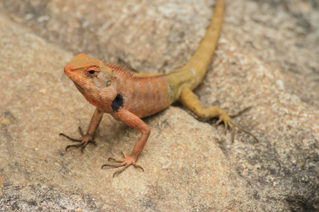 Blue lizard, brown Lizard, asian lizard or tree lizard photo