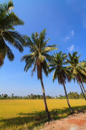 Row of coconut palm trees next to a field photo