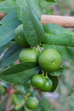 Lemon hanging on a tree photo