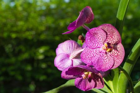 vanda: Vanda orchid