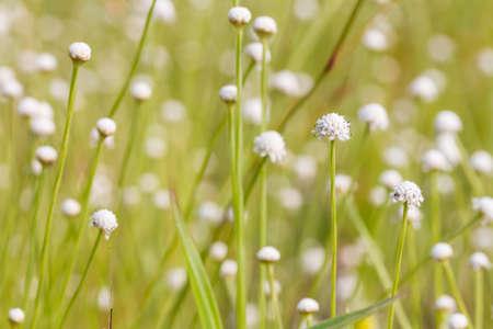 eriocaulaceae: Eriocaulaceae flowers Stock Photo