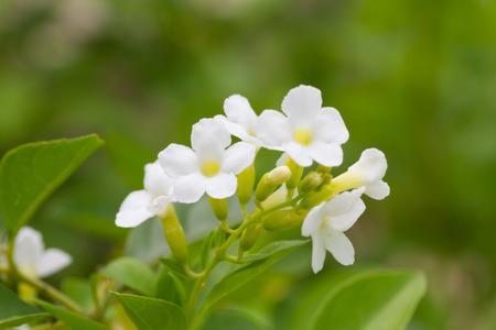 dewdrop: Duranta or Golden dewdrop flower