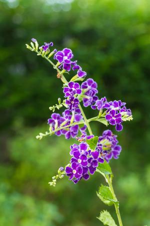 dewdrop: Purple blue duranta or Golden dewdrop flower Stock Photo