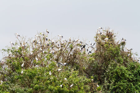 anastomus: Asian openbill on their collective sleeping place Stock Photo