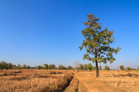 siamensis: Shorea siamensis in parched rice field Stock Photo