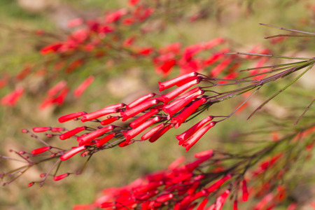 coral bell: Firecracker plant, Coral plant, Coral fountain, Coralblow and Fountain plant Stock Photo