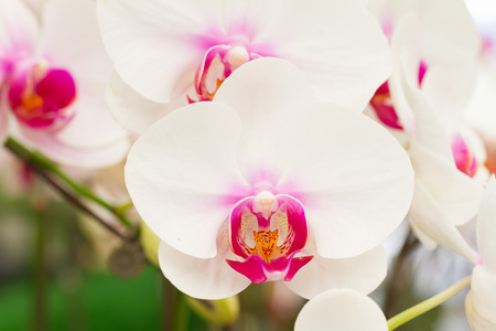 phal: Phalaenopsis orchid in garden, white orchid Stock Photo
