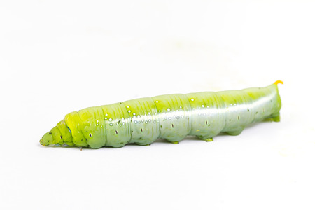 caterpillar worm: Green caterpillar worm on white background