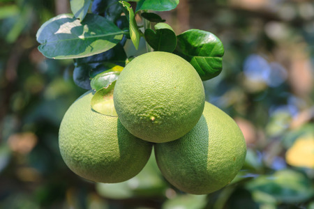 pomelo: Pomelo hanging on tree