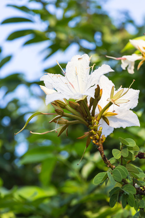 five petals: Blossoming of Bauhinia winitii Craib flower on vine