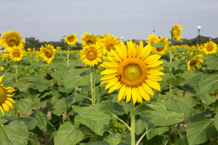 Bright yellow sunflowers and bee in the farm