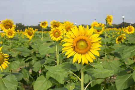campo de flores: girasoles amarillos brillantes y abeja en la granja