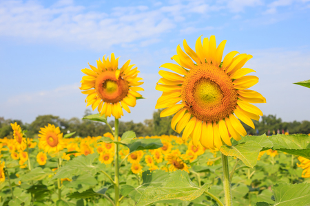 barley head: Bright yellow sunflowers and bee in the farm