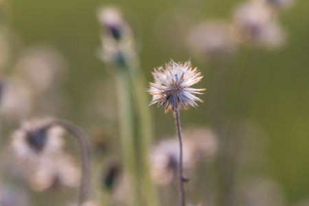 button grass: Dried Coat buttons, Mexican daisy or Tridax daisy grass flower in sunset light with sweet tone Stock Photo