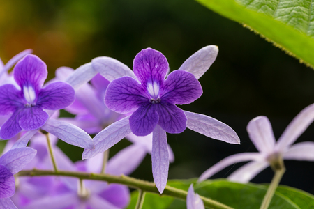petrea: Petrea racemosa, purple wreath or sandpaper vine flower Stock Photo