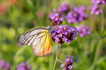 animal vein: Colorful butterfly on Verbena bonariensis flower