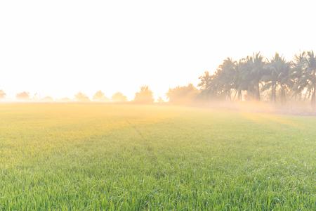 fog foggy: Rice farm in the morning light with fog