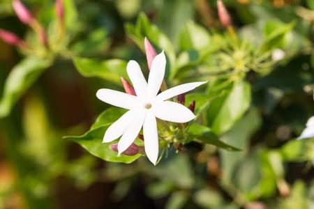 jessamine: gelsomino confederato, stella gelsomino, gelsomino confederato o gelsomino stella cinese Archivio Fotografico