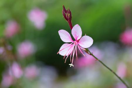 whirling: Gaura lindheimeri or Whirling butterflies flower in the garden