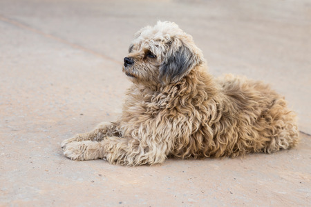 white poodle: Dirty white poodle  on the road