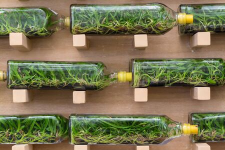tissue culture: Orchid tissue culture in glass bottles