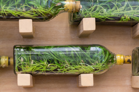 tissue culture: Orchid tissue culture in glass bottles on shelf