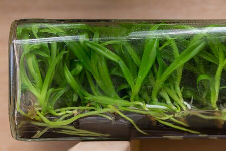 tissue culture: Orchid tissue culture in a glass bottle