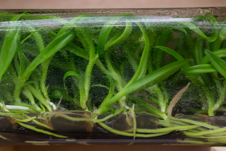 fertilize: Orchid tissue culture in a glass bottle