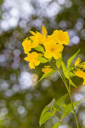 tacoma: Tecoma stans flower on bokeh background