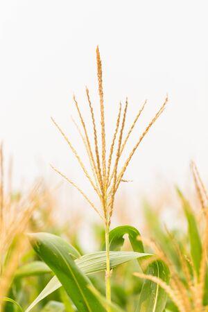 corn flower: Corn flower in morning light, rural of Thailand