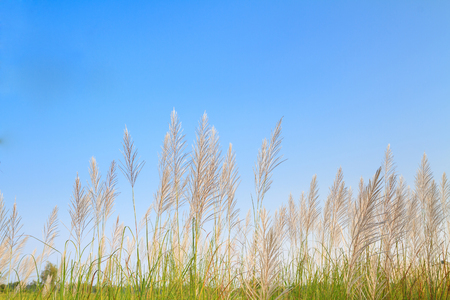 fine cane: Reed grass flower against the blue sky Stock Photo