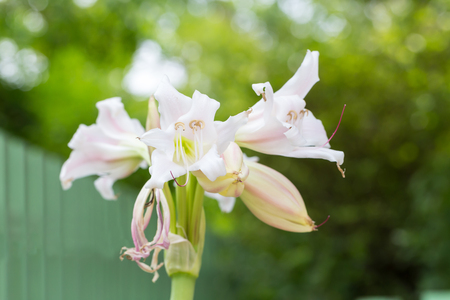 spider lily: River Lily, Spider Lily, Swamp Lily, Poison Bulb flower on green bokeh background