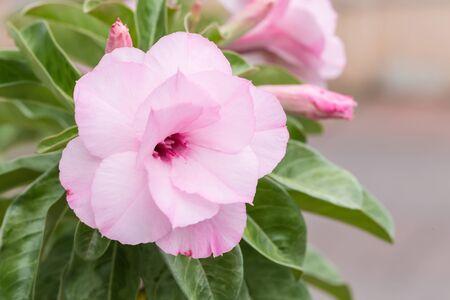 adenium: Pink adenium tropical flower and leaves Stock Photo