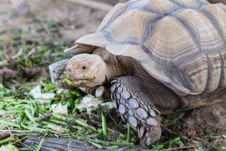 Large tortoise eating vegetables