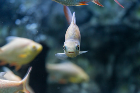 redtail: Red-tail Tinfoil Barb in  aquarium