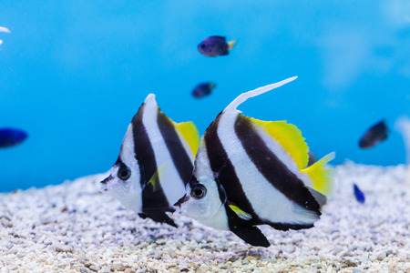 Bannerfish (Heniochus acuminatus) with blue background in aquarium