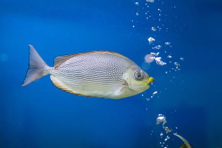 rabbitfish: Bluespotted spinefish on blue background in  aquarium