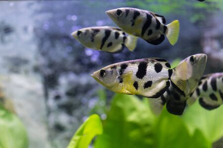 Malawi Cichlid fishes with grass in aquarium Stock Photo