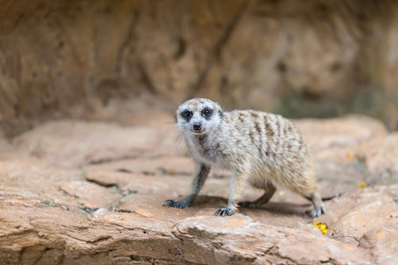 Single meerkat looking for hunter animal on stone