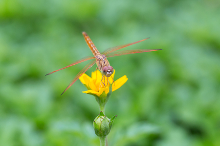 yellow star: Dragonfly on a little yellow star flower in garden