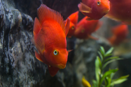 Blood parrot cichlid well known as bloody parrot and blood parrot fish., a hybrid of the midas and the redhead cichlid